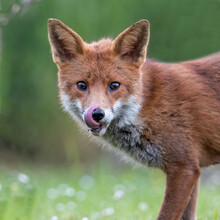 Red Fox Cub Licking His Lips