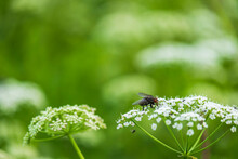 Fly Sitting On A Summer Flower In A Meadow