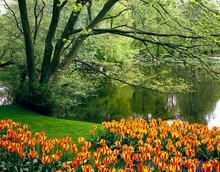 Park, Pond, Tulips, Season, Spring, Water Body, Lake, Tree, Flowers, Plants, Vegetation, Botany, Flower Bed, Tulip Bed, Grape Hyacinths,