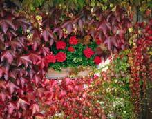 Facade, Overgrown, Wild Vine, Geranium, Autumn,