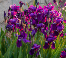 Iris Au Soleil Levant, Beautiful Irises Bathed In The Light Of The Rising Sun