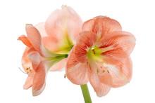 Beautiful Orange Amaryllis Flower Or Hippeastrum Isolated On White Background, Close Up
