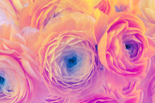 Pink And Wellow Color Anemone Flower Bouquet. Nature Background.