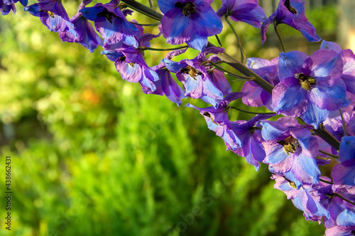 Delphinium flowers with variable focus on blurred background Fototapet