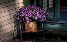 Purple Planter Flowers On Our Porch In Windsor In Broome County In Upstate NY.  A Hanging Basket Sits On A Tree Log On A Chair By The Front Porch In The Morning Sun.