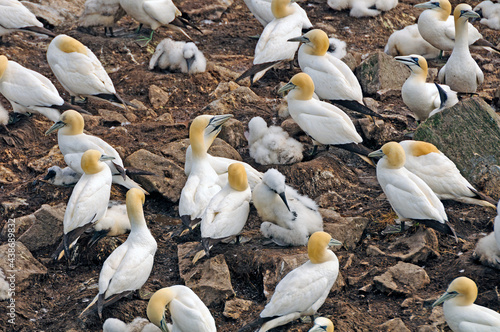 Nesting Colony of Northern Gannets #438689832