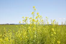 Landscape Of Mustard Flowers
