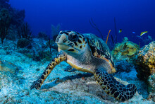 A Hawksbill Turtle Next To Some Sponge On The Reef. These Turtles Love To Eat Sponge So This Is The Perfect Environment For This Docile Creature