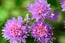 Close Up Of Several Flowers Of Chives From Above, On Which A Bee Is Sitting