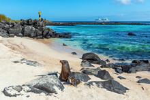 Galapagos Sea Lion (Zalophus Wollebaeki) Mother With Puppies, Espanola Island Beach With Lighthouse And Cruise Ship, Galapagos National Park, Ecuador.