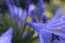 Agapanthus, Lily Of The Nile Flower