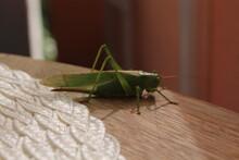 Grünes Heupferd, Riesen Heuschrecke