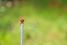 木の枝に留まる赤とんぼ【神奈川県・日向薬師】 Japanese Red Dragonfly