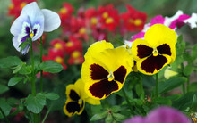 Bright Colorful Pansies On A Flower Bed In The Garden. Close Up