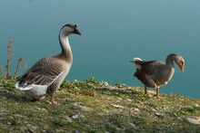 Chinese Goose And Greylag Goose Outdoors In Natural Environment. Three-dimensional Effect Photography Of Two Adult Geese Animals. Goose Portrait, Ornithology, Animal Theme, Zoology, Bird Concept.
