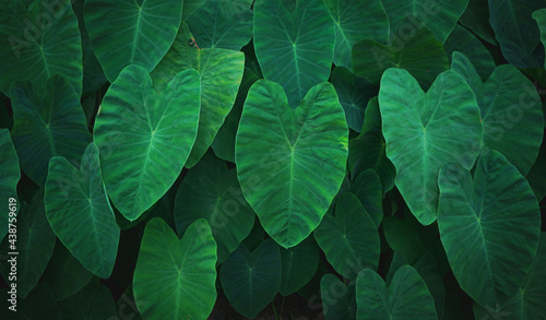 Natural background of green Elephant Ear leaf with vintage filter