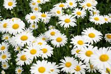 Small Cluster Of Shasta Daisy