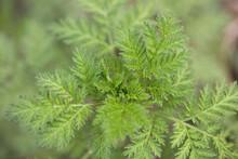 Artemisia Annua Plant