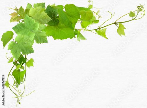 Fotografia Feuilles de vigne