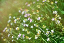 Small Daisy Flowers And Yellow Flowers In Sunlight On A Meadow Or Field, Natural Green Background. Blur Effect, Selective Focus.