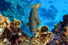 Orange-striped Triggerfish (Balistapus Undulatus) , Coral Fish In The Coral Reef