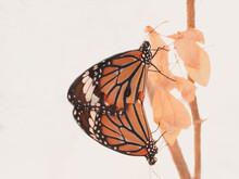 Two Orange Monarch Butterflies Mating On Tree Branch In Garden