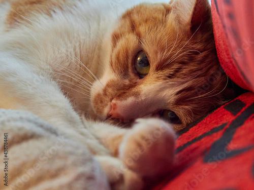 Fotografie, Obraz gato relajado