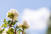 Beautiful, Fragrant White Rose Blossoms Against The Blue Sky And Clouds On A Hot Summer Day. Copy Space.