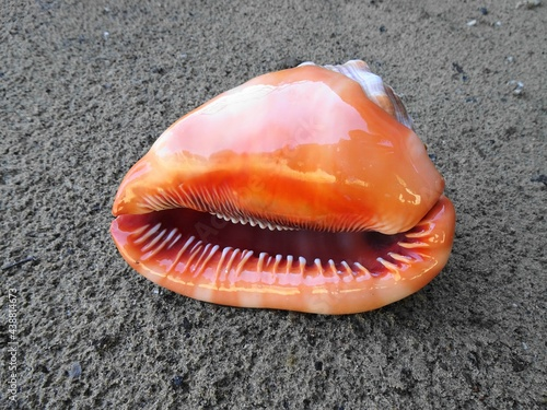 Photo natural bull's mouth helmet conch shell