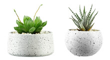 Succulent Plants. Two Small Green Cactus Plants In A Pot Isolated On White Background.