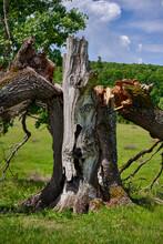 Centennial Oak Broken Down By Storm