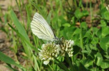 Cabbage Butterfly On A White Clover Flower