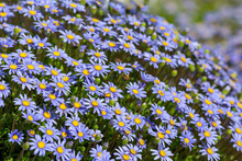 Felicia Or Blue Daisy As A Wall Together In The Garden