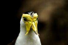 Closeup Of Vanellus Albiceps - Bird Portrait