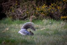 Grey Squirrel Running In The Field