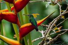 Green -crowned Brilliant Hummingbird In A Flower In Costa Rica