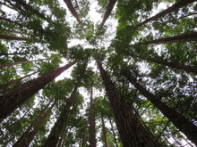 Beautiful Redwood Forest Giant Trees Huge Fat Tall Wood