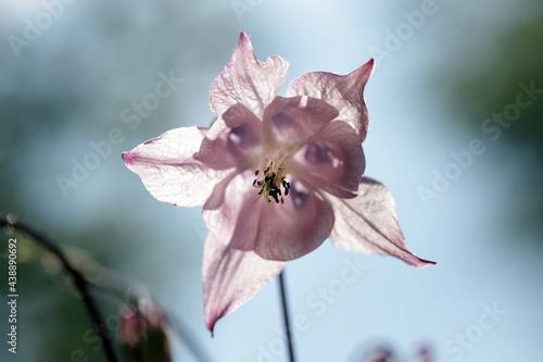 Gewöhnliche Akelei (Aquilegia vulgaris), auch Wald-Akelei Fotobehang