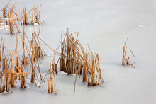 Reeds In A Frozen Lake