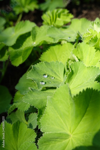 Fototapeta Alchemilla mollis, commonly known as lady's mantle, is a clumping perennial