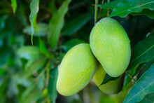 Young Green Mango Growing In Tree