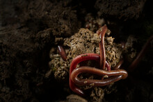 Beautiful Closeup Macro Photo Group Of Earthworms Drill And Adventure In Fertile Soil. Flash Light Made To Show Earthworm's Tube Shape Anatomy By Lighting Reflex On Their Skin That Looks Smooth Shiny.