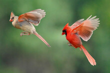 Male And Female Cardinal Flying In To Bird Feeder To Get A Snack In Morning Light In Summer