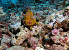 A Yellow Warty Frogfish On Rocks Pescador Island Philippines