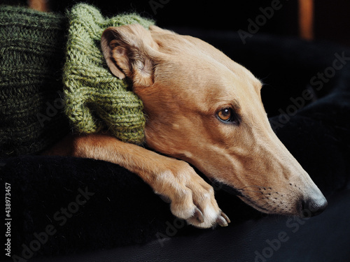 Canvastavla Pet fawn greyhound wearing a knitted snood