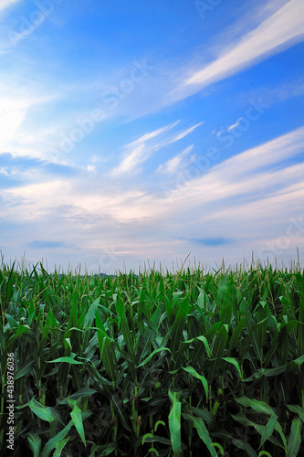 Vertical image of fresh unpicked corn and flowing white clouds