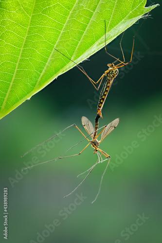 Fototapeta premium Crane fly (Nephrotoma) couple copulation