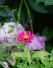 Fleur Cosmos Sonata