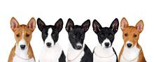 Basenji Dog Cute Puppy Portrait On White Background Studio Photo Pets