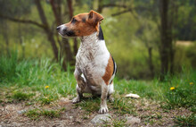 Small Jack Russell Terrier Sitting On Ground, Her Fur Very Dirty, Looking To Side One Paw Up, Grass And Trees Background